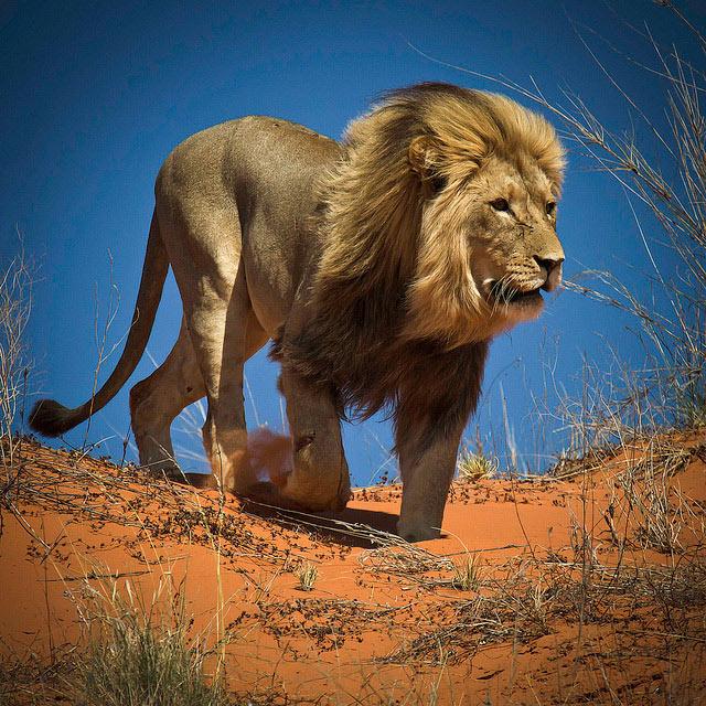 ЮАР львы