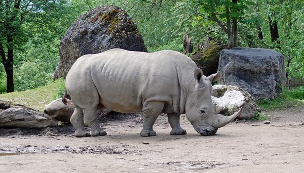 Носорог в Зальцбургском зоопарке