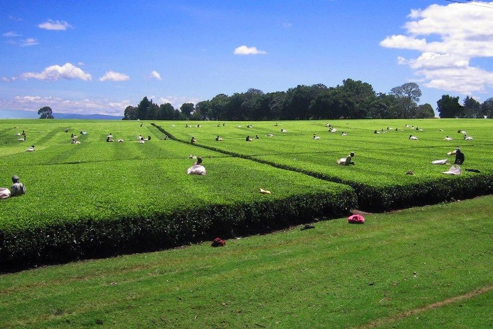 Чайные плантации Керичо