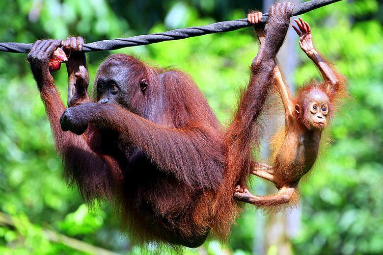 Реабилитационный центр для орангутанов Сепилок